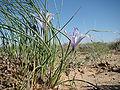 Iris tenuifolia; Baikonur 001.jpg