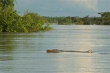 Dauphin de l'Irrawaddy dans DAUPHIN 220px-Irrawaddy_Dolphin