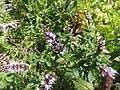 Isodontia mexicana 06.jpg