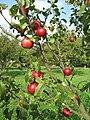 Jablka (19).jpg