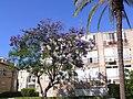 Jacaranda-mimosifolia-Rishon001.jpg