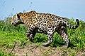 Jaguar (Panthera onca) male walking along the river bank ... (29139337146).jpg