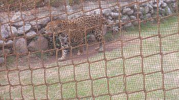 Jaguar at Chhatbir Zoo.jpg