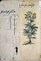 Japanese Herbal, 17th century Wellcome L0030101.jpg