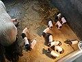 Jinhua sow with piglets.jpg