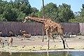 Jirafa(Giraffa camelopardalis)3.jpg