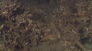 File:Jonge kabeljauwen oftewel gul rondom een wrak met andere vissen-4885742.webm