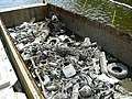 July 2009, Debris collected to ensure efficient dredge operations (5201420051).jpg