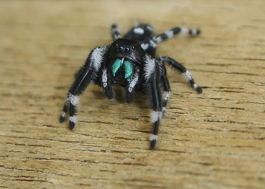 Jumping spider of North America (Phidippus audax).jpg