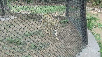 Jungle Cat at Chhatbir Zoo.jpg