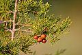 Juniperus phoenicea foliage cones.jpg