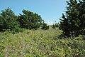 Juniperus virginiana Washburn Island1.jpg