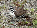 Juvenile Killdeer (Charadrius vociferus) Hiding Under Adult 02.jpg