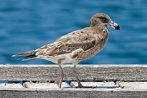 Pacific gull - Juvenile