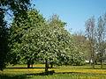 Ka õunapuud õitsevad pargis.JPG