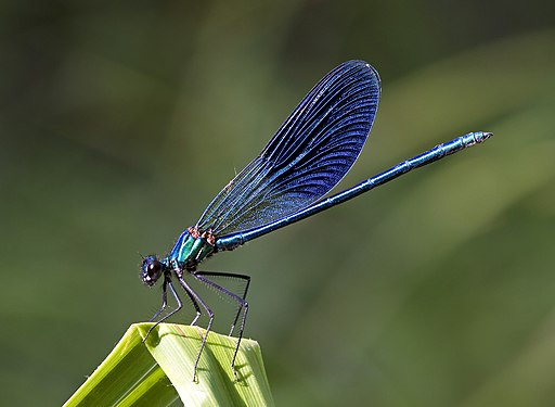Kaibara87 - Blue Damselfly (by)