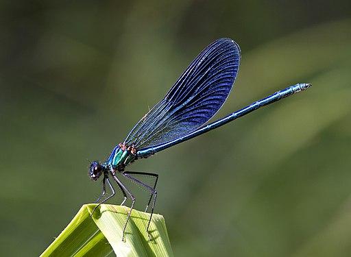 Kaibara87 - Blue Damselfly (by)