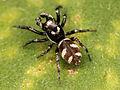 Kaldari Salticus scenicus male 03.jpg