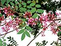 Kamranga flower.JPG