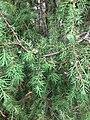 Katajan (Juniperus communis) marjoja.jpg