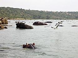 Kazinga channel Uganda.jpg