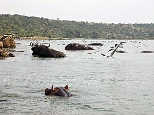 Kazinga Channel - Hippos at Kazinga Channel