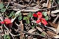 Kennedia prostrata (Running Postman) - Moora Track, Grampians National Park, Victoria Australia (5043595361).jpg