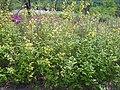 Kerria japonica pleniflora 8.JPG