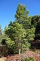 Keteleeria davidiana - Quarryhill Botanical Garden - DSC03431.JPG
