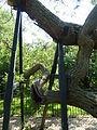 Kew Gardens Pagoda Tree P1170591.JPG