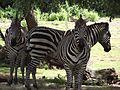 Kilimanjaro Safaris zèbres.JPG