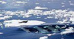 Killer Whales Hunting a Crabeater Seal.jpg