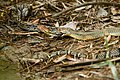 King cobra killing reticulated python - Kaeng Krachan National Park (26060286866).jpg