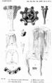 Kishinouye-1910-pl-1.png