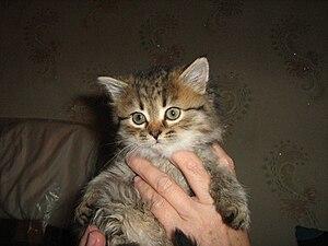 English: Kitten