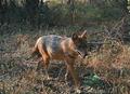 Klára Pyšková et al. ZooKeys 641 151–163 (2016) Golden jackal 1.png