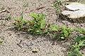 Kluse - Chenopodium giganteum - Magentaspreen 07 ies.jpg