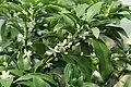 Kluse - Fortunella margarita - Kumquat 05 ies.jpg