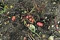 Kluse - Oxalis tuberosa 19 ies.jpg