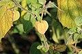Kluse - Physalis peruviana - Kapstachelbeere 03 ies.jpg