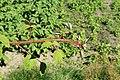 Kluse - Rubus phoenicolasius - Japanische Weinbeere 03 ies.jpg