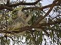 Koala bear with a child (22709668828).jpg