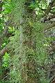 Kohekohe flowers growing directly from trunk.jpg
