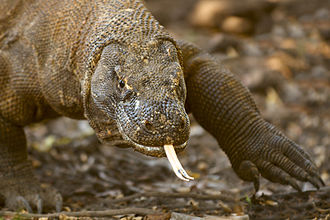 East Nusa Tenggara - Komodo dragon a large species of lizard lived in this province