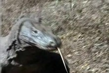 File:Komodo dragons video.ogv
