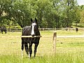 Kone na gazdovstve Uhliská - panoramio.jpg