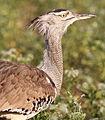Kori bustard, Ardeotis kori, at Mapungubwe National Park, Limpopo, South Africa (17944912878).jpg