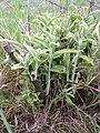 Korina 2012-05-15 Elaeagnus angustifolia.jpg