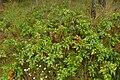 Korina 2014-08-29 Mahonia aquifolium 3.jpg