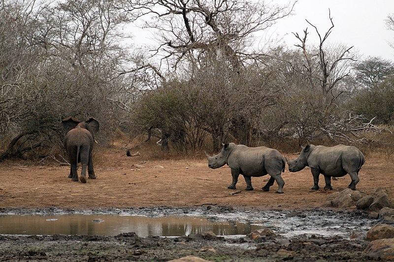 afrikanza-kruger-rhino